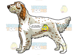 An Attentive English Setter