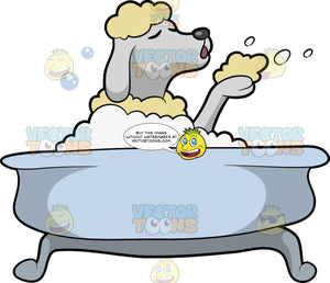 A Poodle Having A Nice Bubble Bath. A lovely dog with curly cream coat, shaved face and legs revealing a white skin tone, shuts its eyes while blowing some bubbles while taking a bubble bath in a light bluish tub