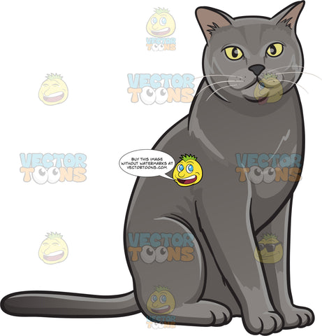 A Gray Domestic Cat
