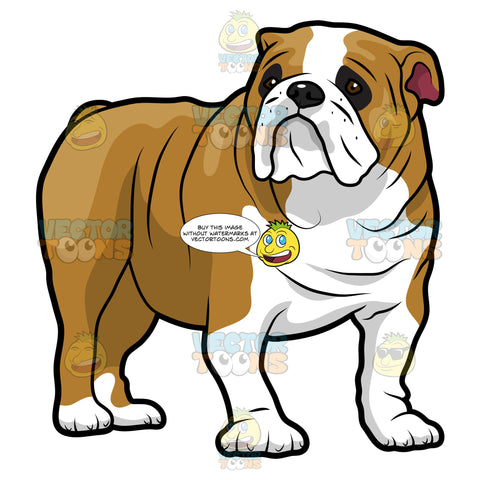 Wrinkled English Bulldog Standing And Looking To The Right