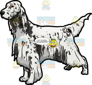 An English Setter Show Dog