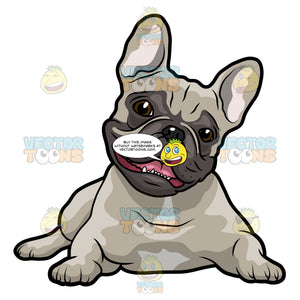 Grey French Bulldog Lying On Its Stomach With Its Head Up And Mouth Open