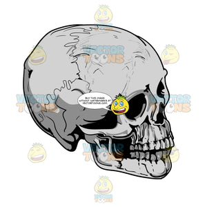 Grey Human Skull Facing Right Angle