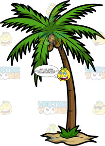 A Palm Tree With Coconuts