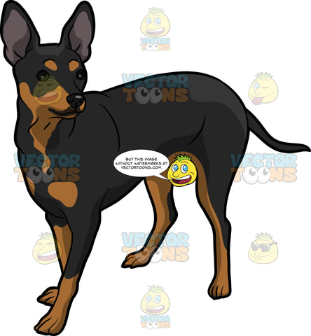 An Attentive Pinscher Dog