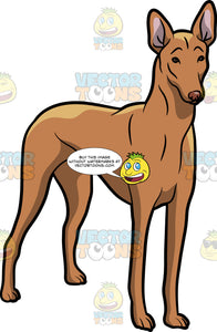 An Intrigued Pharaoh Hound Dog
