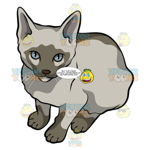 A Tongkinese Cat