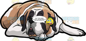 A Tired St Bernard Dog