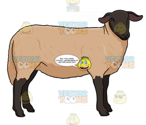 Adult Female Sheep