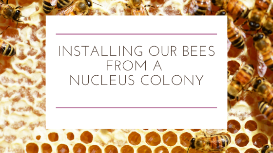 Installing Our Bees from a Nucleus Colony