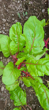 Load image into Gallery viewer, Bright Lights Swiss Chard