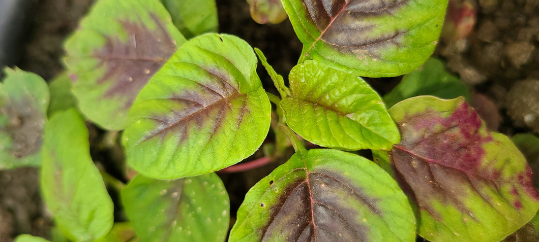Red-Green Callaloo Amaranth