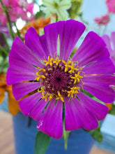 Load image into Gallery viewer, Giant Double Violet Queen Zinnia