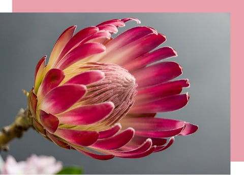 blooming protea flower