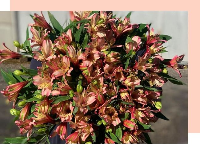 wandin vavlley flowers bunch of alstroemeria