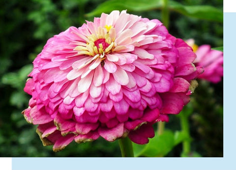 pink zinnia in full bloom