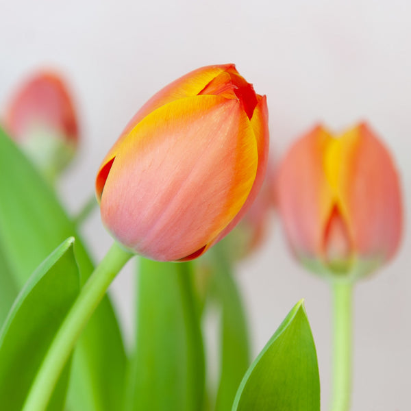 Orange Tulips - Floraly Australia
