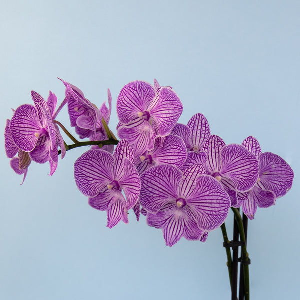 The Orchid Crush - Floraly Australia