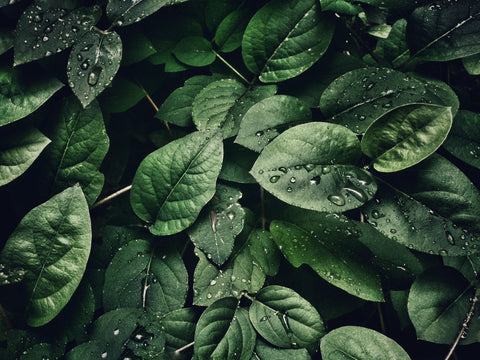 dark green leaves with water droplets