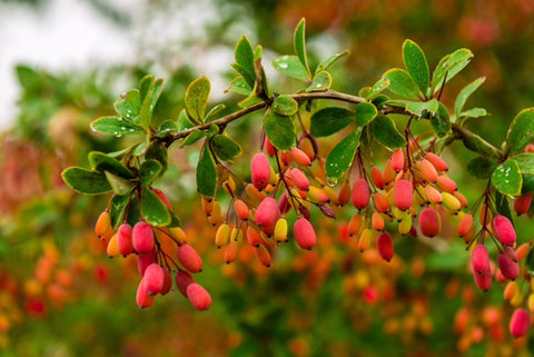 Can Berberine Lower Blood Pressure