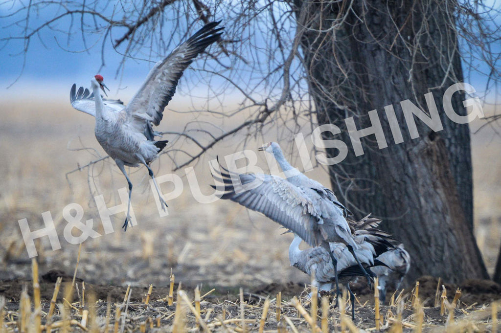 Sandhill Cranes of Nebraska Postcards | Beautiful Crane Photography Keepsakes | Original Sandhill Crane Mating Dance Images