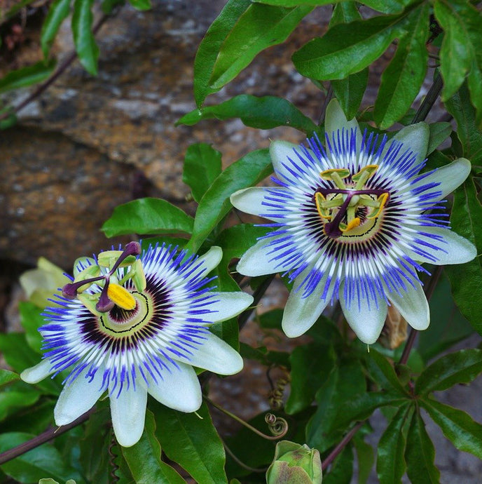 Passionflower: A Smokable Herb for the Underslept