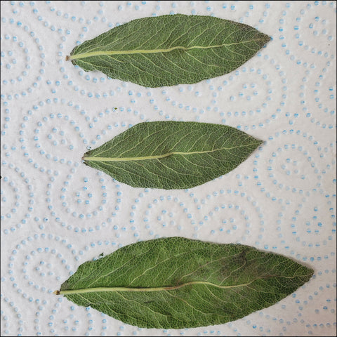 sage herbs leaves drying for smoking