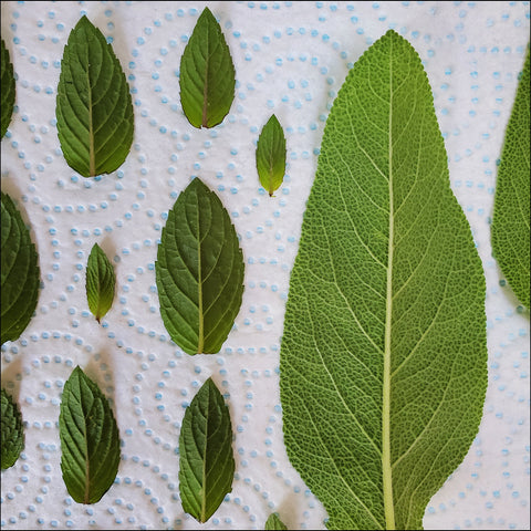 chocolate mint and sage herb leaves drying for smoking
