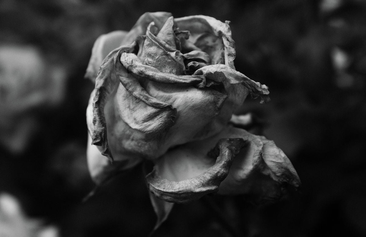Faded Rose Series - Number Six