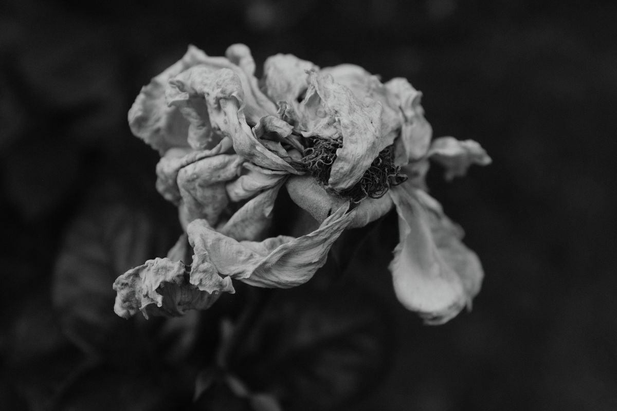Faded Rose Series - Number Four