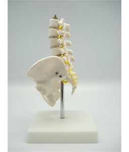 Pelvis with 5pcs Lumbar Vertebrae - Tredan Connections