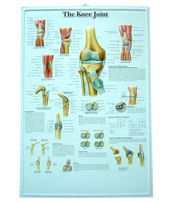 The Knee Joint Medical Chart - Tredan Connections