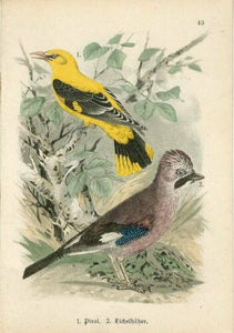 1900 Golden Oriole and European Blue Jay Lithograph by J. Hoffmann