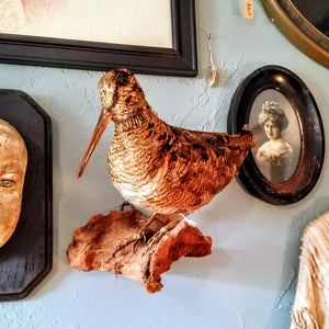 Taxidermy - Wood Cock