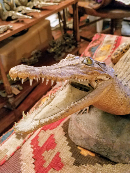 SOLD - Late 1800's Skin Mount Crocodile Taxidermy