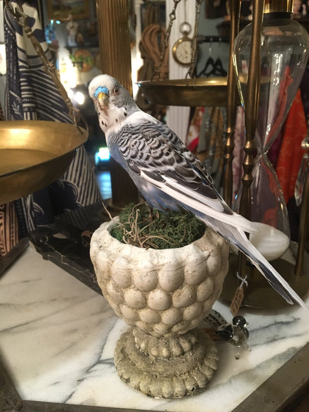 Taxidermy Blue and Black Budgie Display