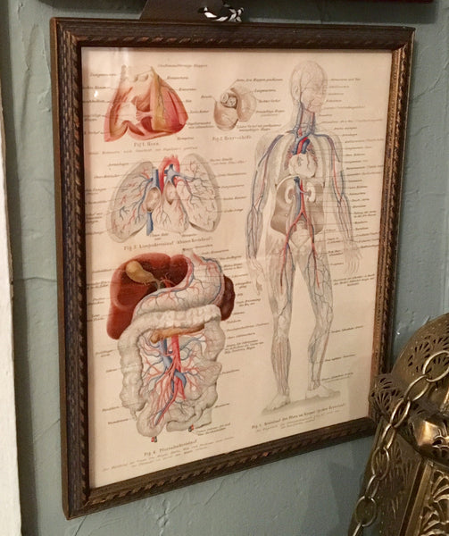 Framed 19th Century Anatomical Lithograph