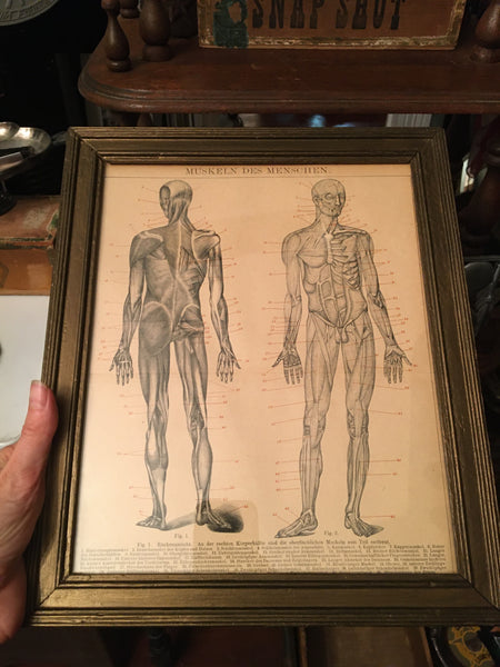 Framed 1895 Lithograph of Male Anatomy