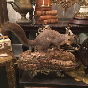 Large Taxidermy Fox Squirrel on Tree Bark Mount