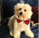 "Cute Adjustable Bow Tie - Modelled by the super gorgeous ""Doogal"""