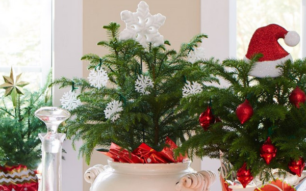 Norfolk pine house plants decorated for Christmas