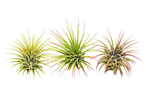 3 Ionantha Guatemala Air Plants - Burnt Spaces