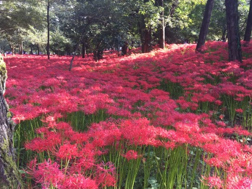 A Red Sea of flowers in Goma
