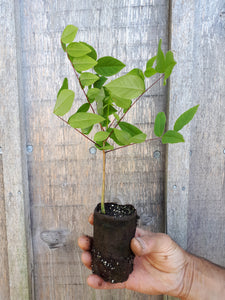 Kentucky Coffee Seedling