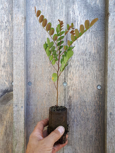 Black Locust Seedling