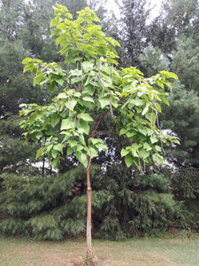 Northern Catalpa Seedling