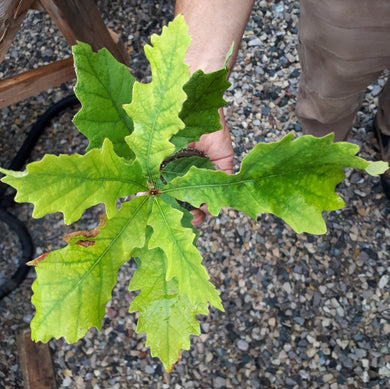 Burr Oak Seedling