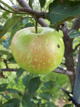 Load image into Gallery viewer, Rhode Island Greening Apple