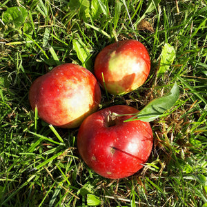 Red Gravenstein Apple