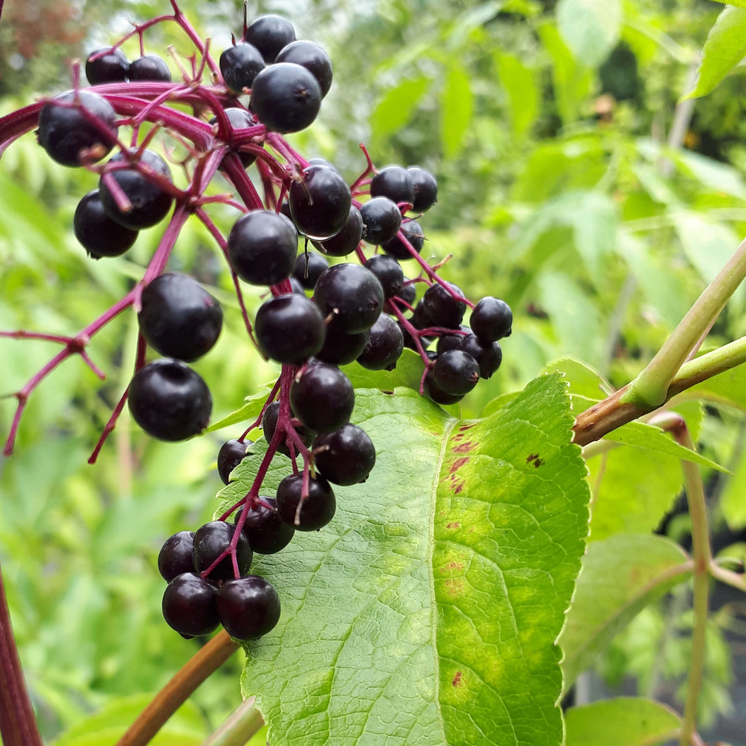 York Elderberry